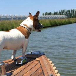 kleine wit-bruine hond staat op het voordek van een sloep die tussen de kassen vaart in het westland